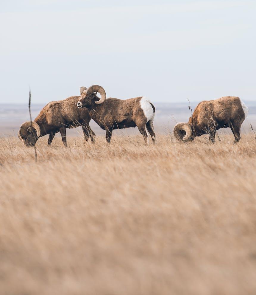 three big horn sheep rams feeding